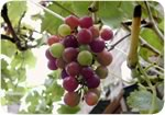 Grapes were the most affected fruit