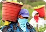 Farmworkers and Tomatoes