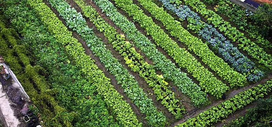 overhead view of vegetable crops