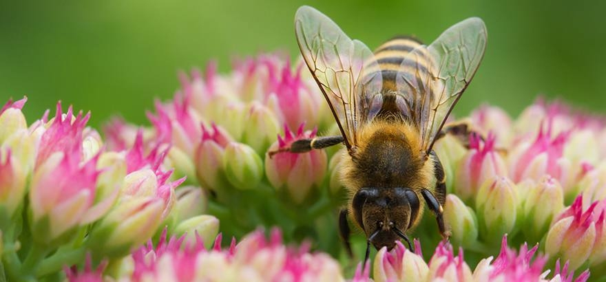 Bees pollinator protections