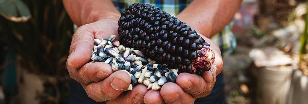Mexico corn in hands