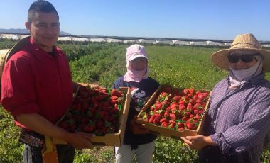 ventura county strawberry farmworkers