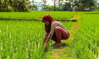 Farmer tending rice