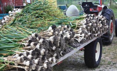 Garlic on farm truck