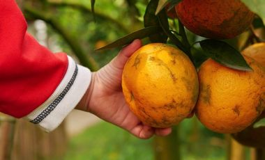 Kid hand with orange grove