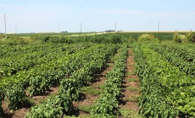 Pepper plants farm