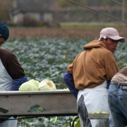 Farmworkers cabbage