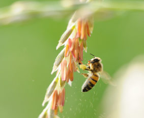 Bee on corn tassel - GE corn