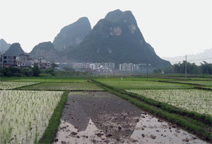 Rice paddy China